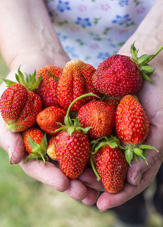 A lot of strawberries in the old woman's overworked hands.
