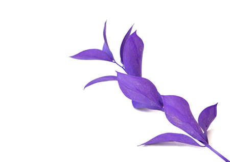 purple branches of Ruskus on a white background.Flower design elements