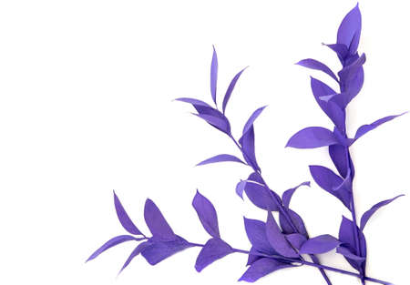decorative branches of the ruskus plant are painted purple on a white background
