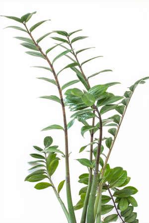 Zamiokulkas dollar tree, Indoor flower on a white background