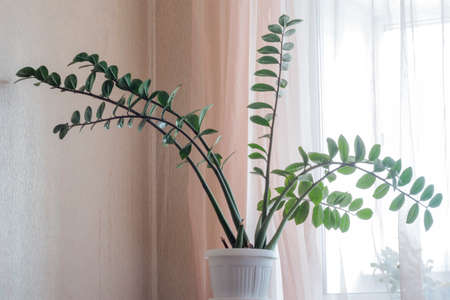 The Dollar tree zamioculcas Potted plant. Madagascar is a zamiokulkas plant Imagens
