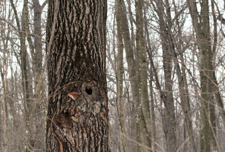 brown tree with a hollow in the winter forest