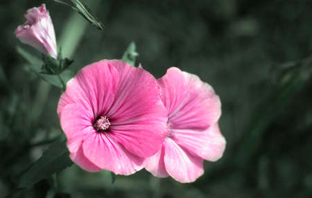lavatera flowers are flowering plants in the Malvaceae family Imagens