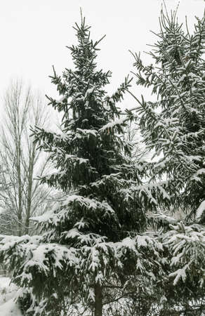 tall green snow-covered firs and trees in the snow in the park Imagens