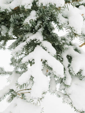 green branches of spruce in the snow as a background Imagens