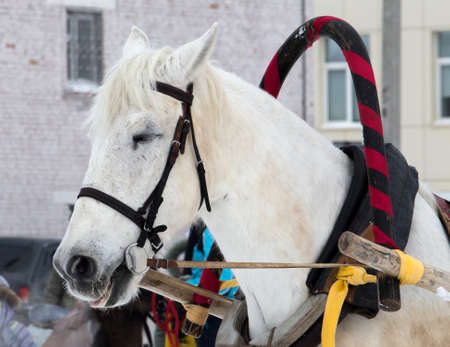 white horse harnessed to a sleigh in winter close-up, horse riding in Russia on holiday