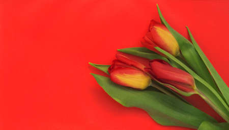 Colorful bouquet of tulips on a red background with a copy of the space