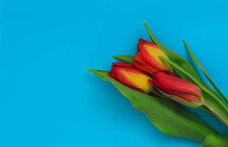 Colorful bouquet of tulips on a blue background with a copy of the space