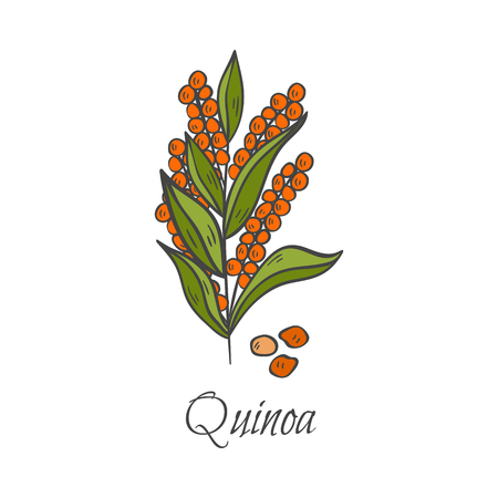 Vector cartoon illustration with hand drawn quinoa seeds. Cartoon ripe ear for harvesting background. Healthy natural food grains. Agriculture vector isolated icon. Healthy lifestyle