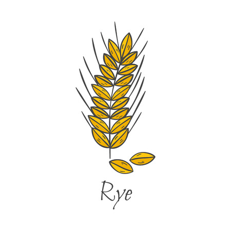 Vector cartoon illustration with hand drawn rye seeds. Cartoon ripe ear for harvesting autumn background. Gold whole natural grains. Agriculture vector isolated icon. Bread hand drawn background