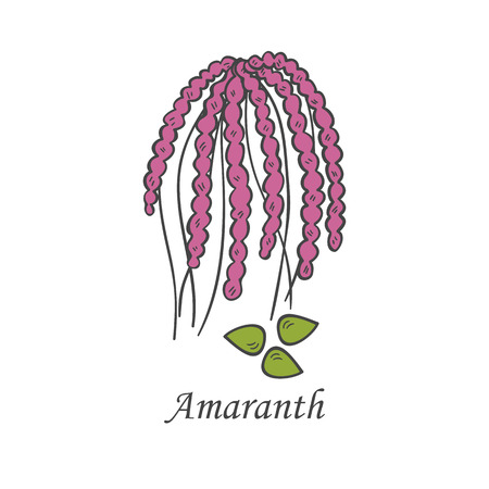 Vector cartoon illustration with hand drawn amaranth seeds. Cartoon ripe ear for harvesting background. Healthy natural food grains. Agriculture vector isolated icon. Healthy lifestyle
