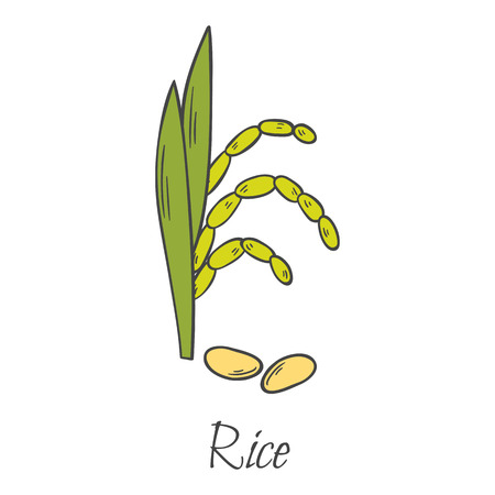 Vector cartoon illustration, isolated hand drawn rice grain cereal and ear. Harvesting farm autumn icon. Raw healthy brown rice. Isolated plant on white background. Asian, chinese, latin america food Illustration