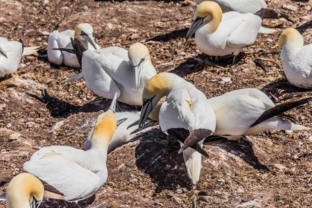 Northern Gannet Colony on Bonaventure Island, Quebec, Canada