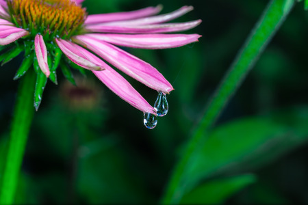 An amazing Echinacea purpurea in a park after the rain. Montreal, Canada. photo