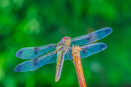 A really beautiful blue winged dragonfly in the wild, Ontario, Canada.