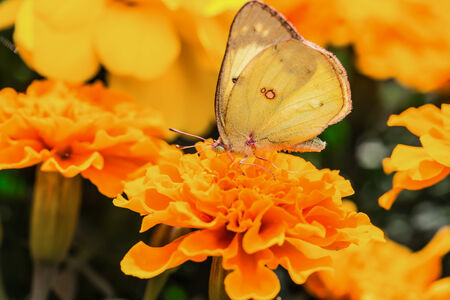 impressive: A beautiful yellow butterfly on an orange flower, in a park, in Montreal, Canada. Stock Photo