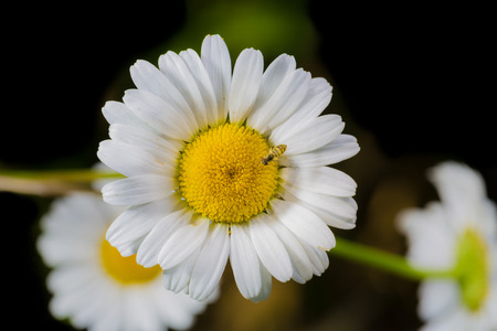 A really beautiful extraordinary camomile in the summer. Quebec, Canada photo