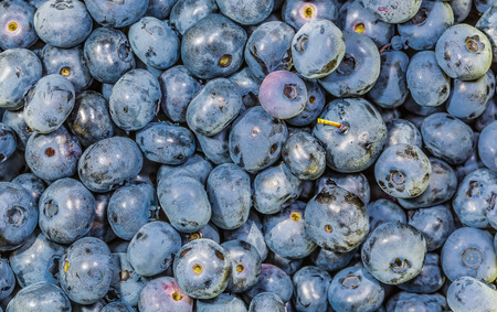 impressive: A lot of big juicy blueberries in the wild. Found in Ontario, Canada. Stock Photo