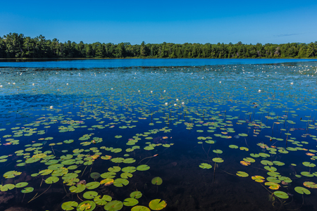 Many lily pads and lotus flowers floating on the water in a lake in the wild nature of Canada. photo