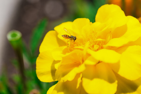 A really beautiful yellow flower with a bee, in a park. Montreal, Canada. photo