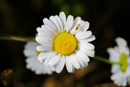 extraordinary: A really beautiful extraordinary camomile in the summer. Quebec, Canada