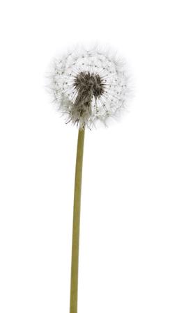 dandelion macro isolated on white background 写真素材