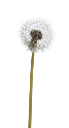 dandelion macro isolated on white background Stock Photo