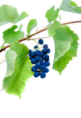 cluster: Blue grape cluster with leaves