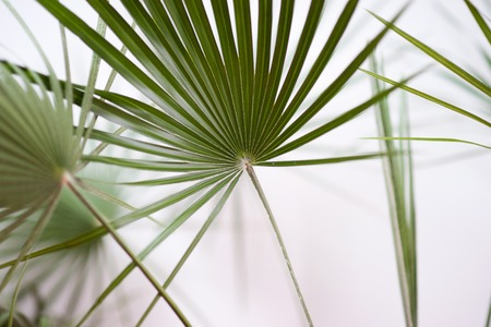 Green palm leaves blurred on white background.