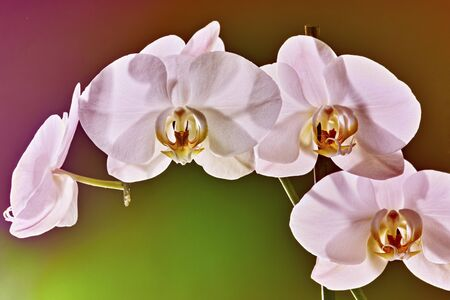 orchideae: close up of white orchid - phalaenopsis flower