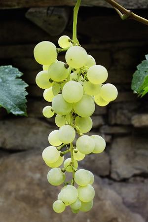 grape cluster: White grape cluster Stock Photo