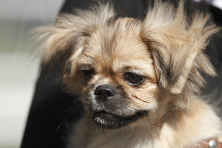 brown and black dog face: Small pekingese