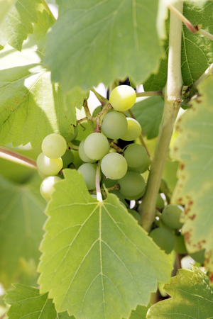 grape cluster: Grape cluster with leaves Stock Photo