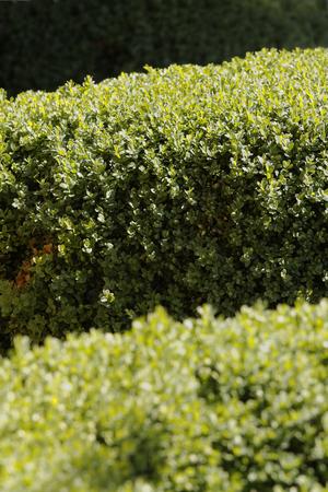 boxwood: Boxwood hedge after rain closeup