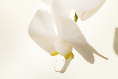 white orchid Stock Photo