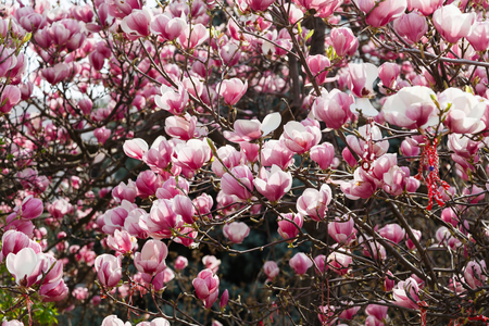 springtime: Magnolia tree blossom in springtime