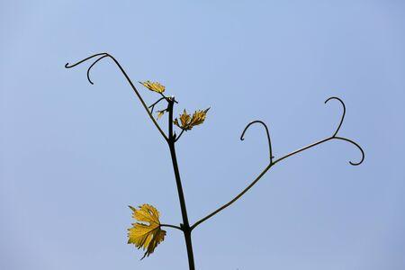 hojas vid: Hojas de parra con fondo de cielo