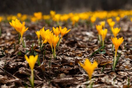 yellow blossom: One of the very first flowers to herald in spring, this little crocus delights us with its brilliant yellow blossom. Stock Photo