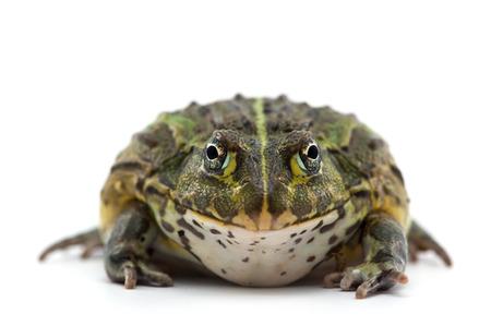 frog isolated on white background Imagens