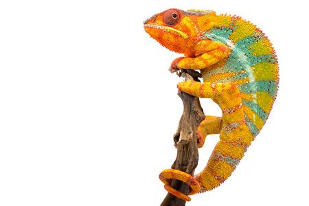 Żółta niebieska jaszczurka kameleon lamparci na białym tle