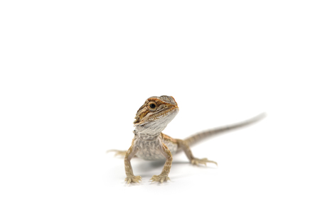 Lizard Bearded Dragon isolated on white background 版權商用圖片
