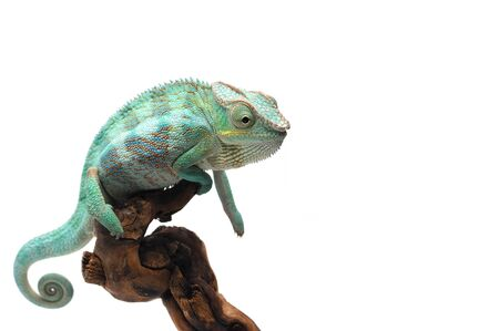 Panther chameleon isolated on white background