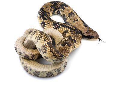 Cobra de agua falsa aislado sobre fondo blanco. Foto de archivo