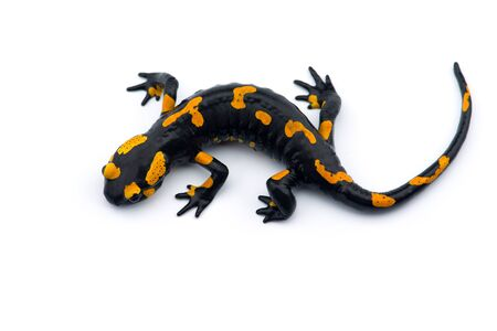The fire salamander isolated on white background Stock Photo