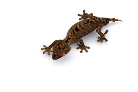 Mossy Leaf-tailed Gecko top view isolated on white bacground Reklamní fotografie