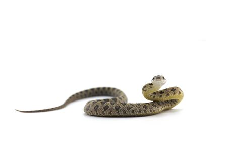 rat snake attack pose isolated on white background