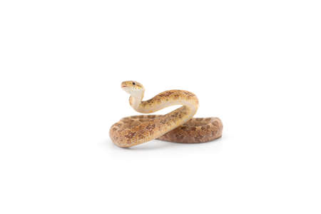 Aggressive Rat snake attack pose isolated on white background