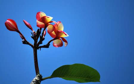 skie: Single flower