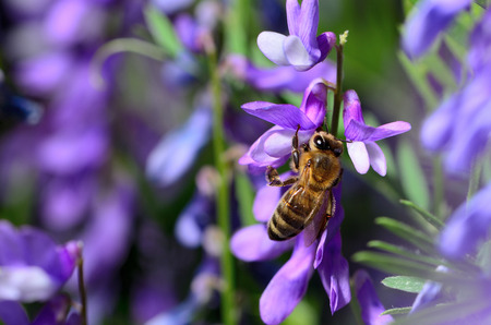 Honeybee Pollinating flower Фото со стока