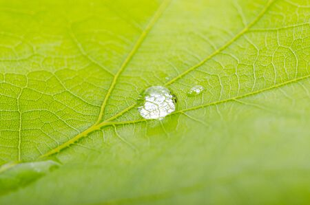 Green leaf of oak with dew